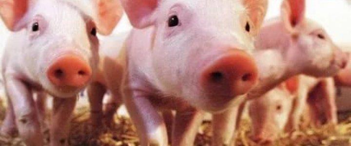 Отбор проб спермы на африканскую чуму свиней